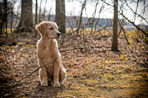 Golden Retriever Arbeitslinie
