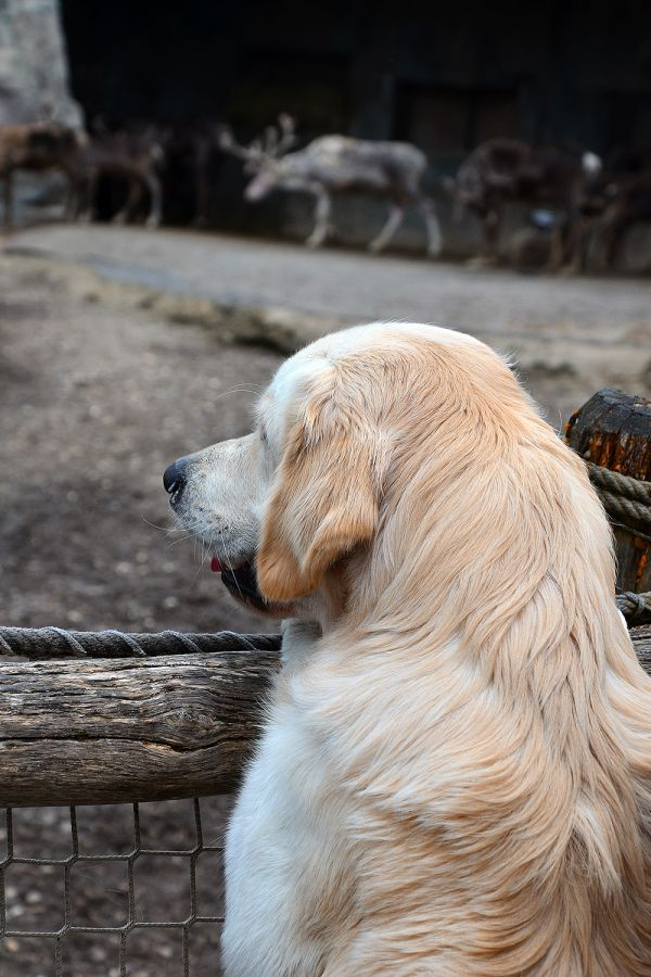 Rentierjagd mit Golden Retriever Carlos
